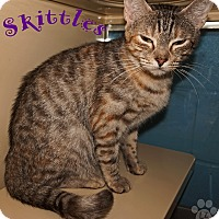 Domestic Shorthair Cat for adoption in Converse, Texas - Skittles