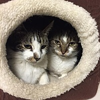 Domestic Shorthair Cat for adoption in New City, New York - Ariel & Prospero