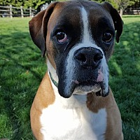 Boxer Dog for adoption in Westminster, Maryland - Nicodemous