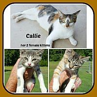 Adopt A Pet :: CALLIE- 2 FEM KITTEN - Malvern, AR