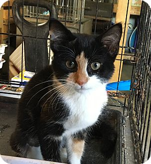 Calico Kitten for adoption in Berkley, Michigan - Ellie