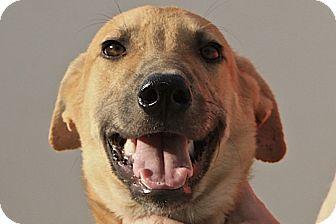 Retriever (Unknown Type)/Labrador Retriever Mix Dog for adoption in WADSWORTH, Illinois - Jalan