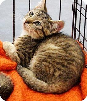 Domestic Shorthair Kitten for adoption in Castro Valley, California - Chanel