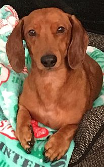 Dachshund Dog for adoption in Louisville, Colorado - Scooter