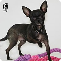 Adopt A Pet :: LILLY - Tomball, TX
