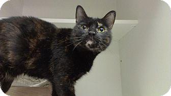 Domestic Shorthair Cat for adoption in Richboro, Pennsylvania - Augusta Webster