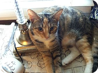 Calico Cat for adoption in Chesterfield, Virginia - Autumn