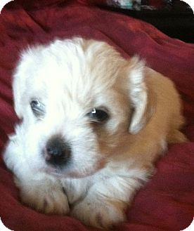 Norfolk Terrier/Lhasa Apso Mix Puppy for adoption in Van Nuys, California - Crystal