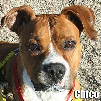 Boxer Mix Dog for adoption in Encino, California - Chico