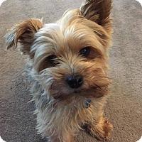Adopt A Pet :: Tigger - Seattle, WA