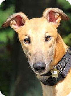 Greyhound Dog for adoption in Nashville, Tennessee - Rock