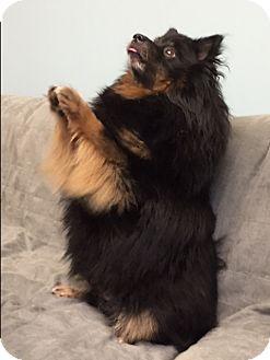 Pomeranian Dog for adoption in Smithtown, New York - Wookie