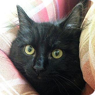 Domestic Shorthair Kitten for adoption in Port Angeles, Washington - Spirit