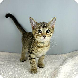 Domestic Shorthair Kitten for adoption in Columbia, Illinois - Star