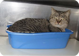 Domestic Shorthair Cat for adoption in Geneseo, Illinois - Molly