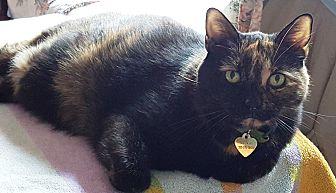 Domestic Shorthair Cat for adoption in Pasadena, California - Meera