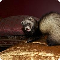 Adopt A Pet :: Polly - Chantilly, VA