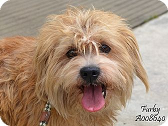 Cairn Terrier Mix Dog for adoption in Woonsocket, Rhode Island - Furby