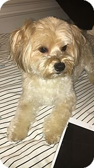 Maltese/Yorkie, Yorkshire Terrier Mix Dog for adoption in Lorain, Ohio - Elvis