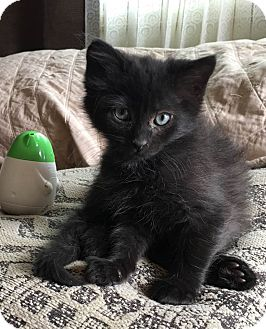 Siamese Kitten for adoption in Loveland, Colorado - Carl