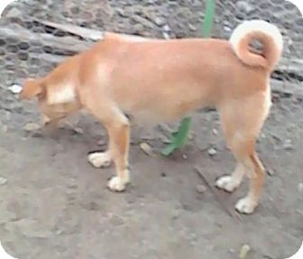 Terrier (Unknown Type, Medium)/Chihuahua Mix Dog for adoption in Dana Point, California - Molly