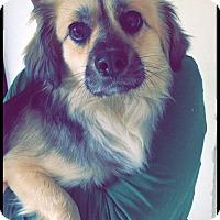Adopt A Pet :: Lancel - South San Francisco, CA