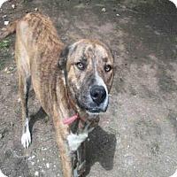 Adopt A Pet :: A350018 - San Antonio, TX