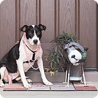 Adopt A Pet :: Bell - Chandler, AZ