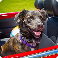 Adopt A Pet :: Cobalt - Houston, TX