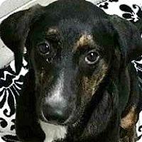 Adopt A Pet :: Pearl - Springdale, AR