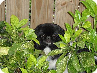 Pekingese Dog for adoption in Richmond, Virginia - Drake