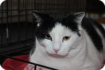 Domestic Shorthair Cat for adoption in Westfield, Massachusetts - Loki
