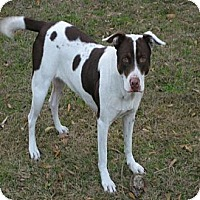 German Shorthaired Pointer/Hound (Unknown Type) Mix Dog for adoption in Orange Lake, Florida - Dixie