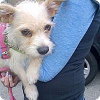 Adopt A Pet :: Shakira - Santa Monica, CA
