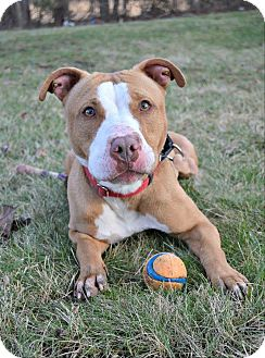 American Staffordshire Terrier Mix Dog for adoption in Cranford, New Jersey - Gabby