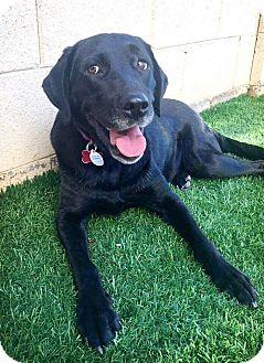 Labrador Retriever Dog for adoption in Litchfield Park, Arizona - Lulu