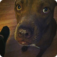 American Pit Bull Terrier/Labrador Retriever Mix Dog for adoption in Midland, Texas - Bubbles