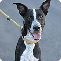 Adopt A Pet :: Comet - Canoga Park, CA