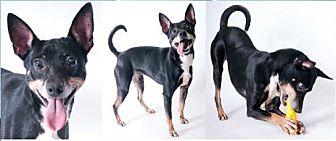 Miniature Pinscher Mix Dog for adoption in Chicago, Illinois - Freddie