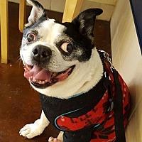 Adopt A Pet :: Yukon Cornelius - Huntington Beach, CA