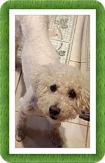 Bichon Frise Dog for adoption in Tulsa, Oklahoma - Adopted!! Zeke - OK