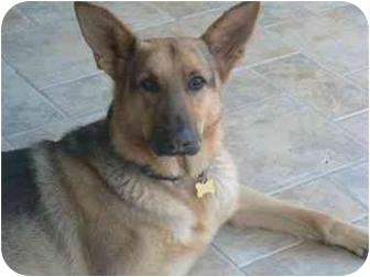 German Shepherd Dog Dog for adoption in Albuquerque, New Mexico - Max
