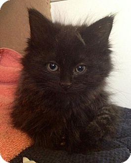 Domestic Mediumhair Kitten for adoption in Troy, Michigan - Anabella Sanchez