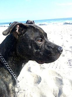 Pit Bull Terrier/Boxer Mix Dog for adoption in Pasadena, California - COCO