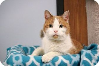 Domestic Shorthair Cat for adoption in McHenry, Illinois - Dingo