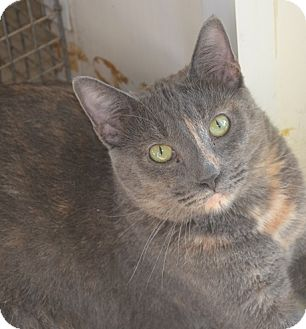 Domestic Shorthair Cat for adoption in New Iberia, Louisiana - Stacey