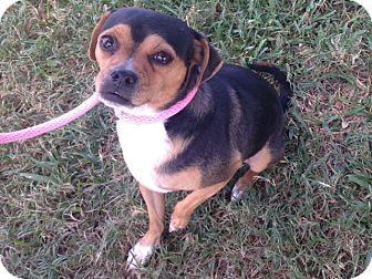 Chihuahua/Beagle Mix Dog for adoption in Dallas, Texas - Benny