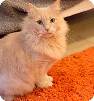 Domestic Longhair Cat for adoption in Chicago, Illinois - Tag
