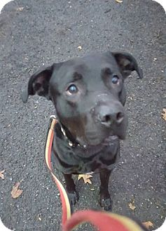 Labrador Retriever Mix Dog for adoption in Bloomfield, New Jersey - Dasher