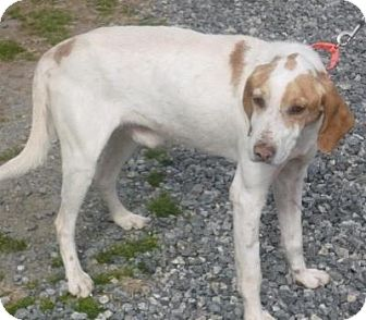 Treeing Walker Coonhound Mix Dog for adoption in Mineral, Virginia - Andy